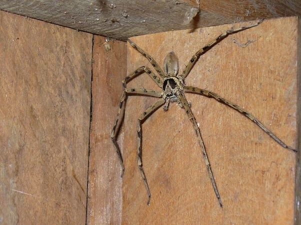 What's the biggest species of spider in the world? - Quora