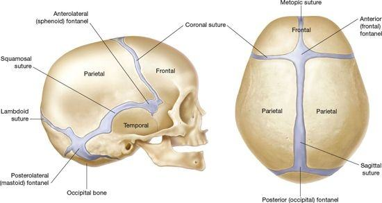 Why are there joints in the skull when they don't move ...