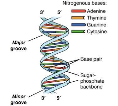 What is DNA? Explain with a diagram. - Quora