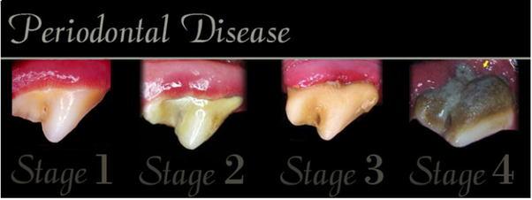 What Do Unhealthy Dog Teeth Look Like Quora
