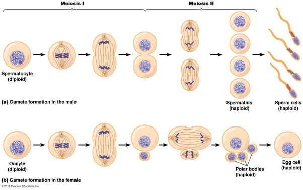 Where does meiosis occur quora meiosis also serves to increase genetic variation within as species due to independent assortment in metaphase i and crossing over in prophase i ccuart Choice Image