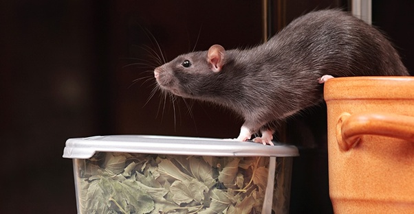 Do mice and rats really hate the smell of peppermint? - Quora