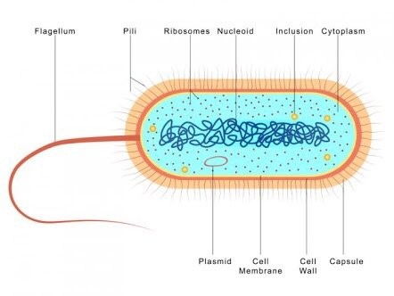 Is bacteria multicellular quora this nucleus is the main difference between prokaryotes and eukaryotes bacteria constitutes a large domain of prokaryotic microorganisms ccuart Choice Image