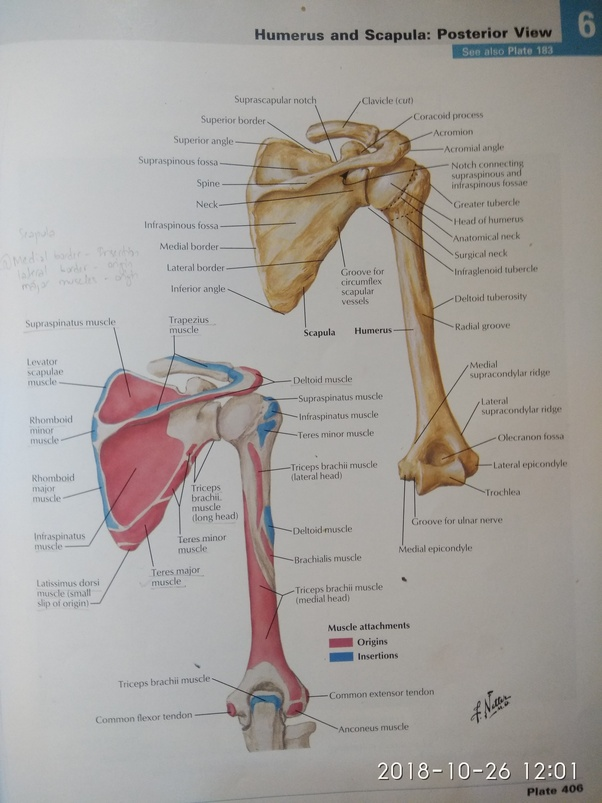 How does one explain the muscle attachments of humerus ...