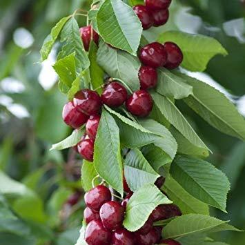 What Is The Fruit Of Sakura Tree In Japan Quora