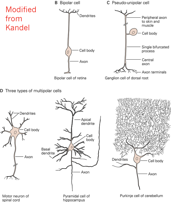 What Is The Anatomy And Function Of The Different Types Of Neurons