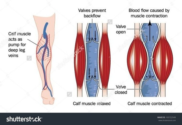 How do skeletal muscles contribute to blood flow? - Quora