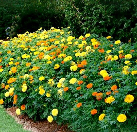 After growing marigolds with tomatoes last year in OH, now there are ...
