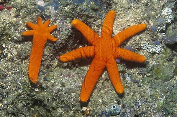 Asexual reproduction method of starfish