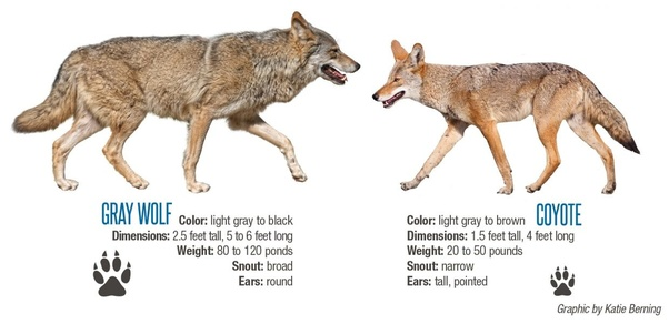Some large coyotes look like wolves while some small ...