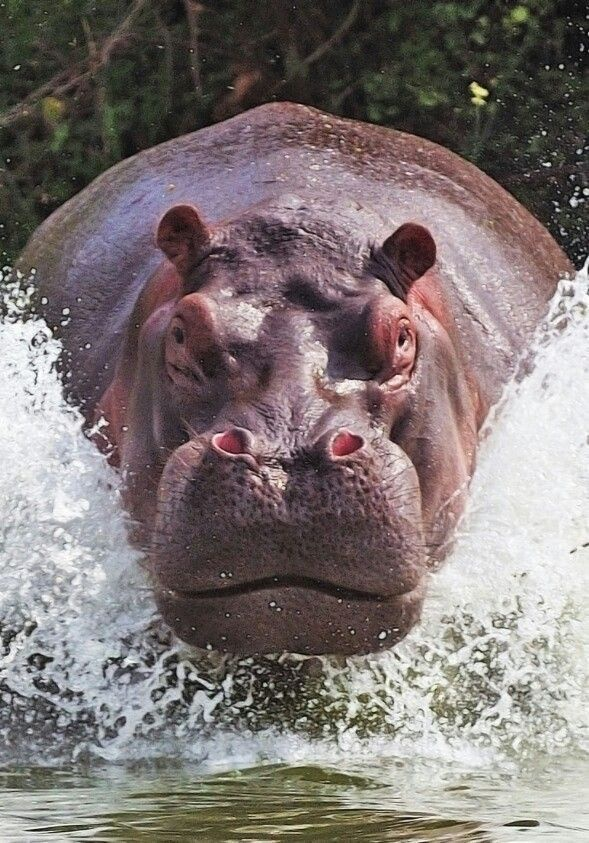 Which is faster: a charging rhinoceros or charging hippopotamus? - Quora