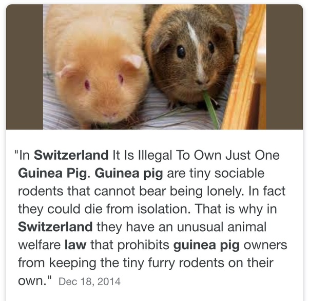 Can a guinea pig live alone? - Quora