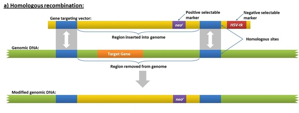 What is the difference between gene knockout and knockdown quora later on several endonucleases were developed for targeted gene knockout notable examples include zfn and talen these proteins can bind to the target malvernweather Image collections