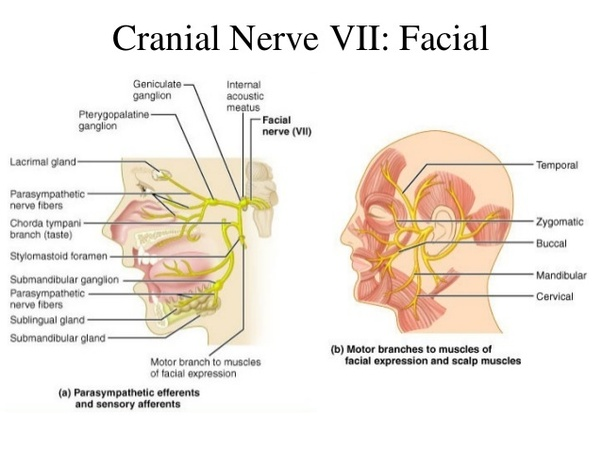What Are Cranial Nerves Quora