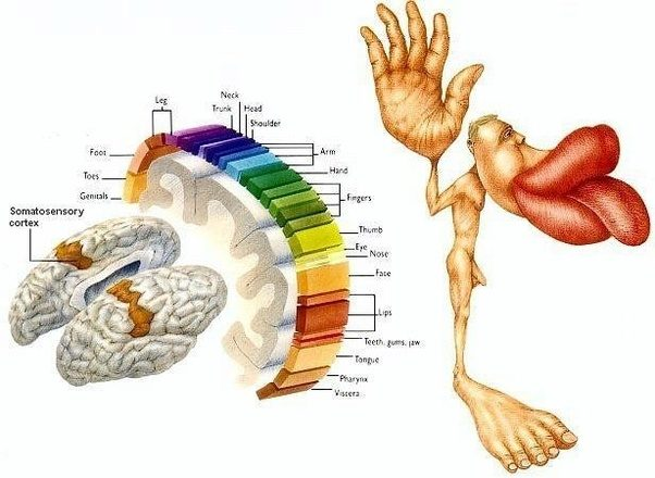 What parts of the human body have the most nerve endings and why the size of his body parts indicate how many nerves go to them ccuart Gallery