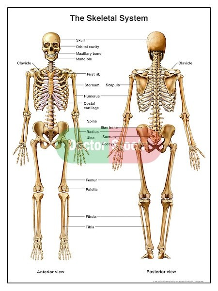 What Is The Difference Between Anterior And Posterior Part Of A Bone
