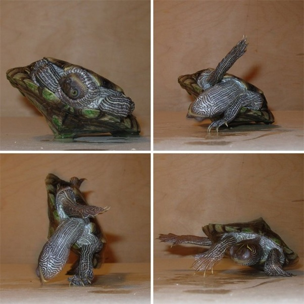 How Do Turtles Turn Right Side Up When They Are Flipped On Their Backs Quora