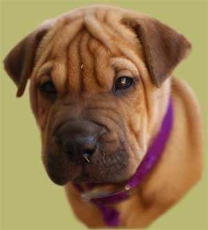 Mastiff Dog Breed Information  Vetstreet