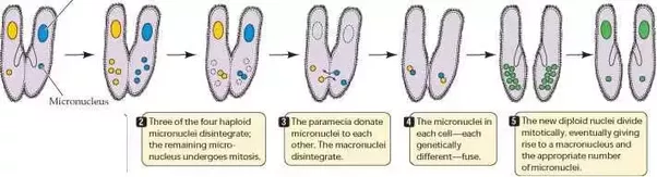 How Is Bacterial Conjugation Different From Conjugation In Paramecium