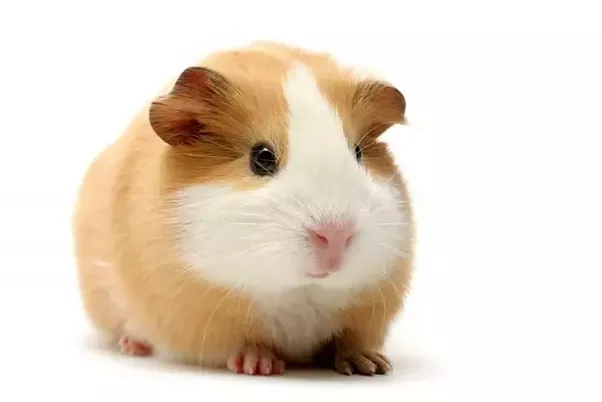 What Are The Differences Between Guinea Pigs And Hamsters Quora