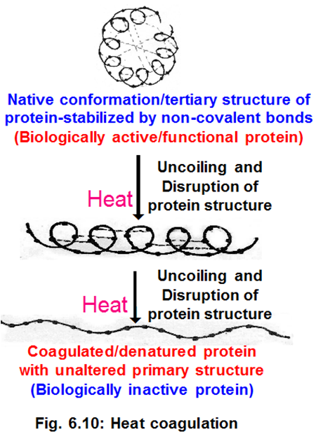 heat high temperature causes protein denaturation which results from disruption of non covalent bonds which are responsible for stabilizing structural