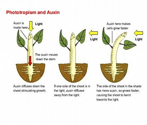 what may be a cause of root gravitropism