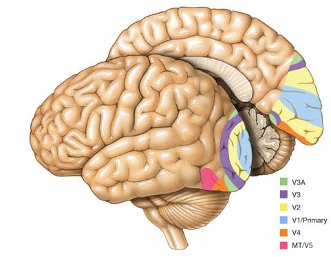 The Visual Experience: Reading 2014 |Visual Cortex