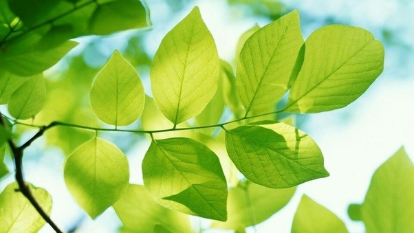 what is the main function of the leaves on a tree quora