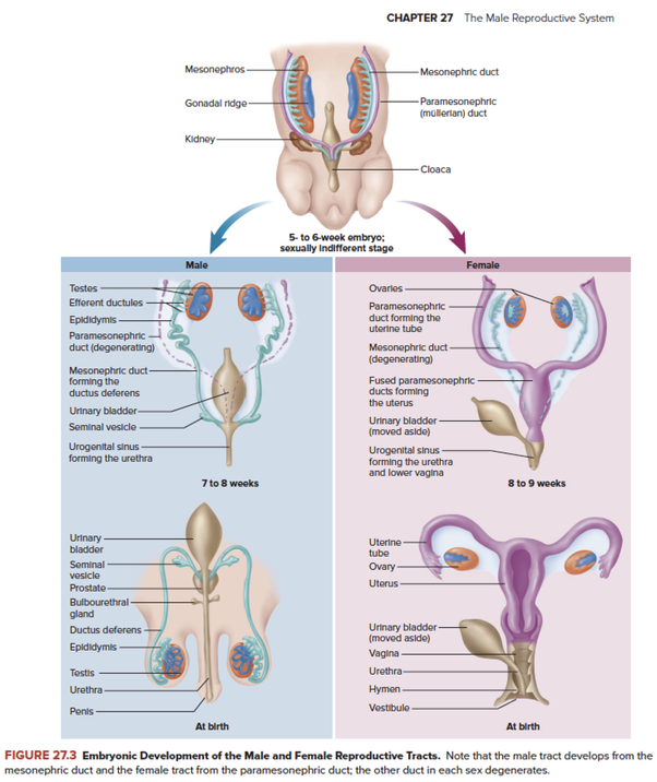 What Organ Is Found In Both Male And Female Reproductive Systems
