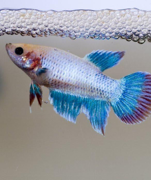 Apa Yang Sebenarnya Terjadi Ketika Ikan Cupang Mengeluarkan Banyak Gelembung Buih Quora