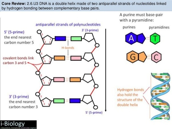 Is This Ncert Diagram Of Dna Wrong  Or Is It A Diagram Of