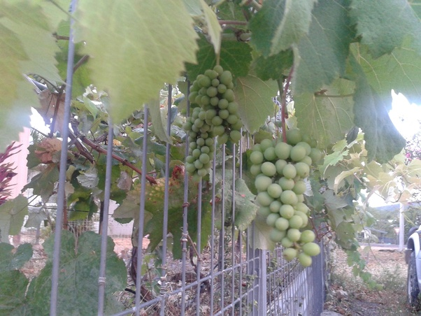 can grapes grow in the tropics