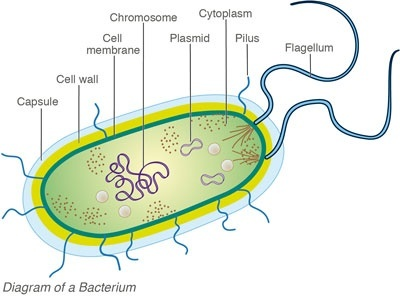 What is the difference between bacteria fungi and yeast quora they present a cell wall of peptidoglycan flagella and might be contained in one capsule and have a lot of shapes they reproduce asexually ccuart Gallery