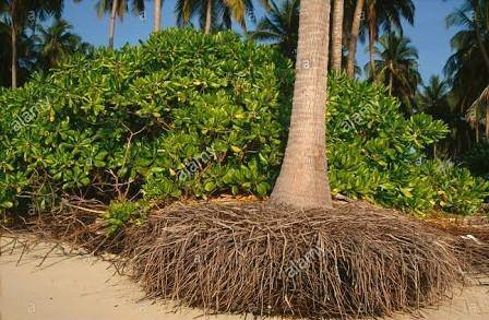 Most Palms Are Tolerant Of Drought But You Must Keep Your Root Ball Damp After Transplanting To Ensure That The Roots Grow Strong And Long For Proper Soil