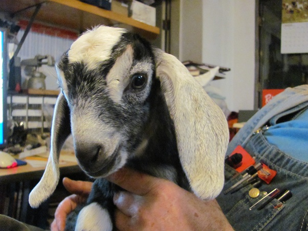Can Goats Eat Dandelions Quora
