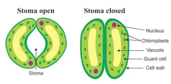 Image result for stomata