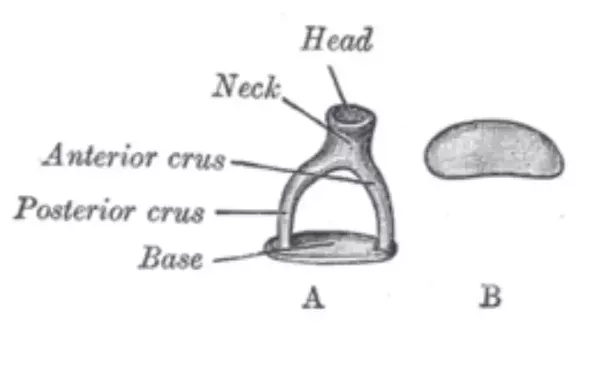 Which is the smallest bone in the human body quora the smallest bone in the body is the stapes it is is just 33mm long in the average person the stapes is a tiny stirrup shaped bone inside the middle ear ccuart Images