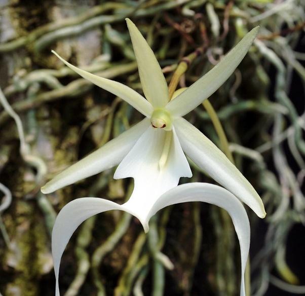 Dendrophylax lindenii Disebut juga sebagai American Ghost Orchid.