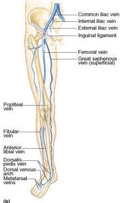 Why do veins show more in the forearm than in the bicep, and ...