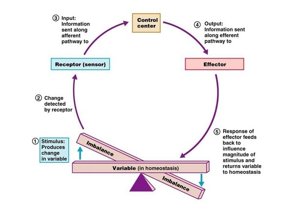homeostasis metabolism and body Top 20 homeostasis examples  they interrupt the homeostasis of your body the human body,  the endocrine system and metabolism.