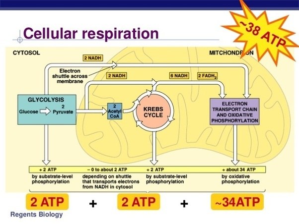 Where does cellular respiration begin quora cellular respiration begins with glycolysis ccuart Image collections