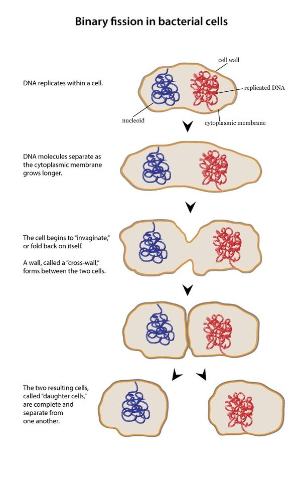What Is The Difference Between Amitosis And Binary Fission