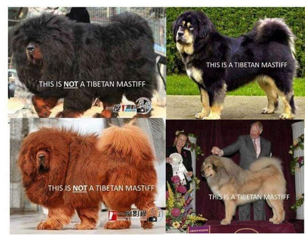 India Own A Tibetan Mastiff