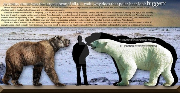 How much does the average polar bear weigh