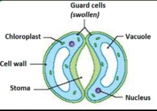 How Do Guard Cells Regulate The Opening And Closing Of Stomatal Pore