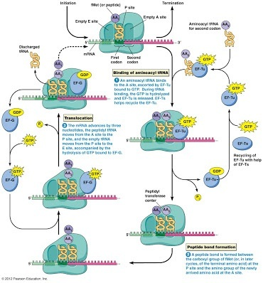 Complete Protein Synthesis Diagram Trusted Wiring Diagram