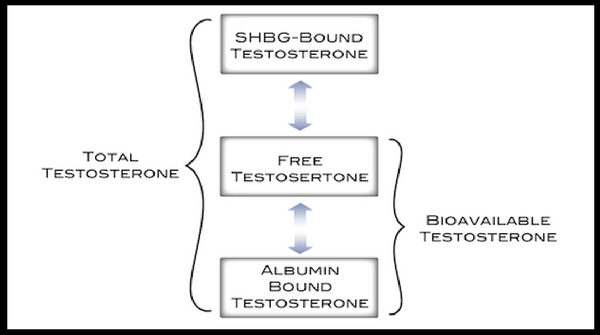 What's the difference between bioavailable testosterone, free