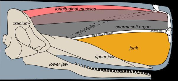 What animal has the highest head to body ratio? - Quora