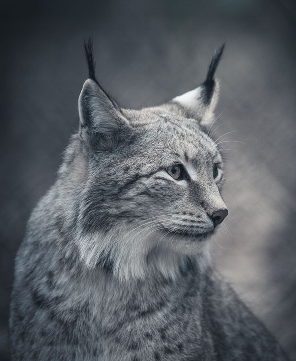 What is it like having a lynx as a pet? - Quora