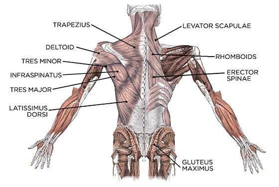 What Are The Main Functions Of Back Muscles Quora